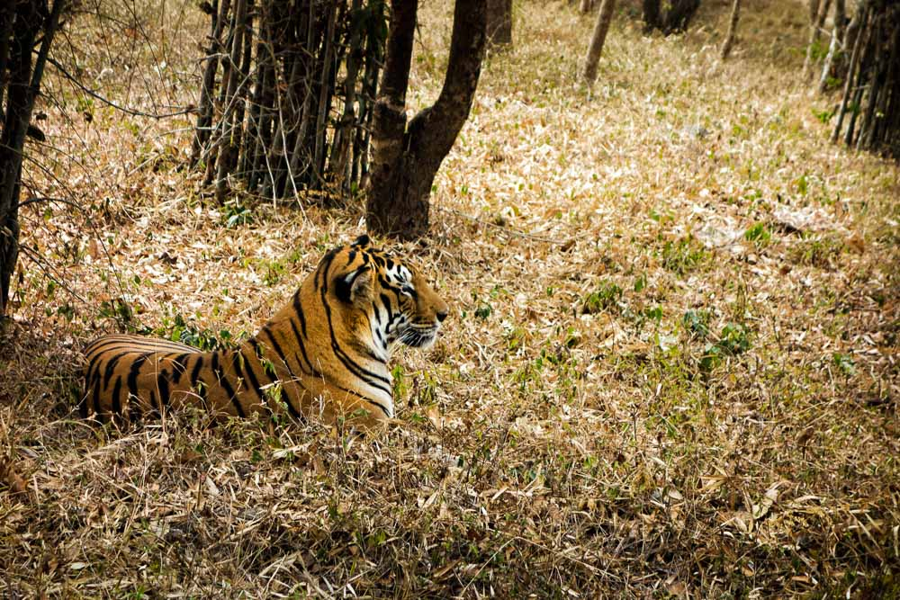 Bengal Tiger at Bannerghatta National Park, India